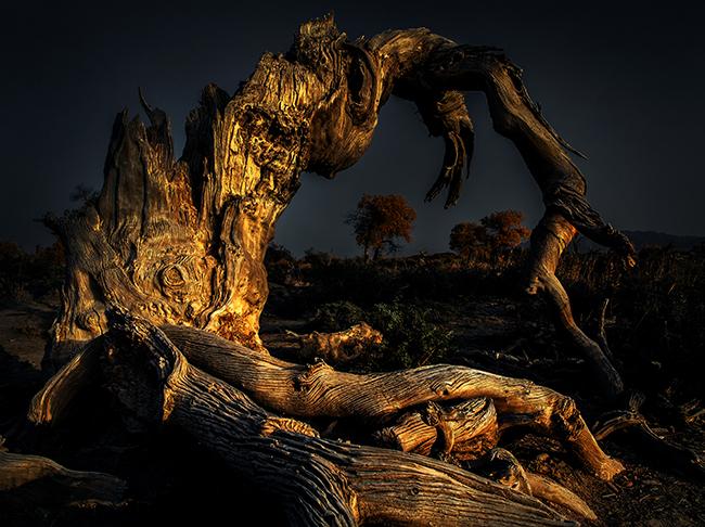千年不倒的木垒胡杨